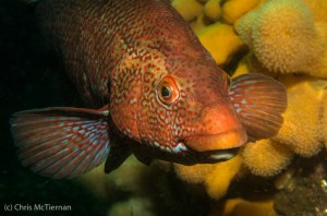 1st Place - Ballan Wrasse by Chris McTernan