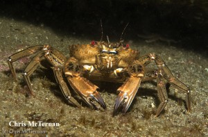 3rd Place - Swimming Crab by Chris McTernan